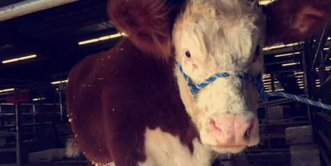 FFA showcases livestock at show