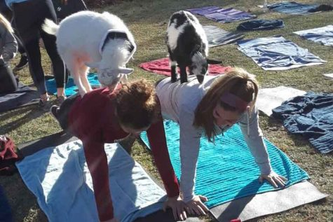 Downward dog gets the goat treatment at girls' soccer practice