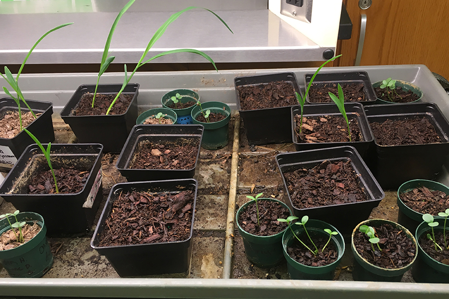 Biology students had the chance to plant seeds in class to learn about how they grow in relation to gravitropism. The activity allows them to expand their knowledge and responsibilities.
