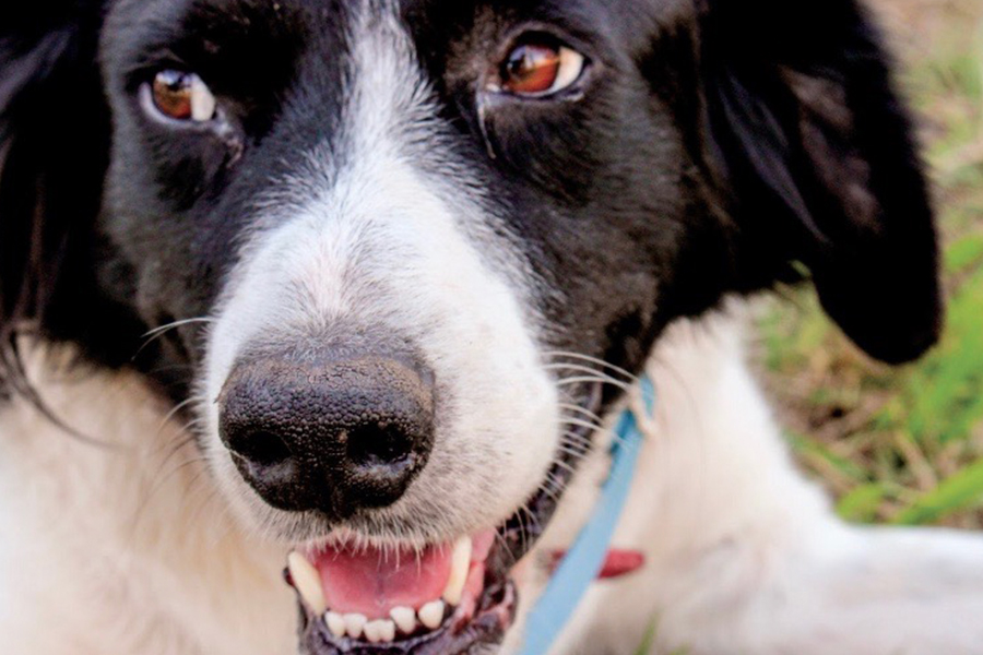 Pets found without their owners in Frisco are typically transferred to McKinney, where they go to the Collin County animal shelter. However, members of Frisco Pet Project hope to open a shelter here in Frisco.