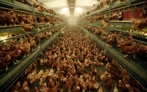 "The ""cage-free"" egg industry"