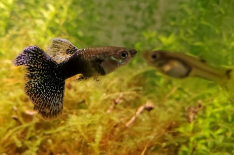 Guppies have helped develop chemistry in Scott Lis social studies classes. Easy to maintain and not causing much of a disturbance, a lot of students love the fish.